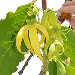 Ylang Ylang III Essential Oil